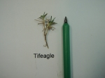 Tifeagle