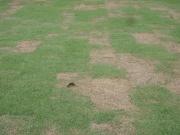 rumput yang pendek akar (dan nyawa) mati dulu.