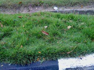 rumput  karpet tak berpotong.