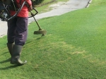 Rumput yang di potong sekarang terlalu rendah. Warna keputihan yang kita lihat ialah warna 'batang' rumput.