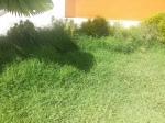 Rumput ini tidak dapat di potong oleh mesin biasa.