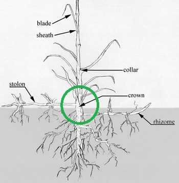 crown grass diagram