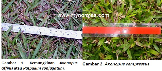 Cowgrass compared