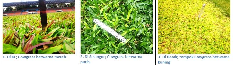 masalah Cowgrass