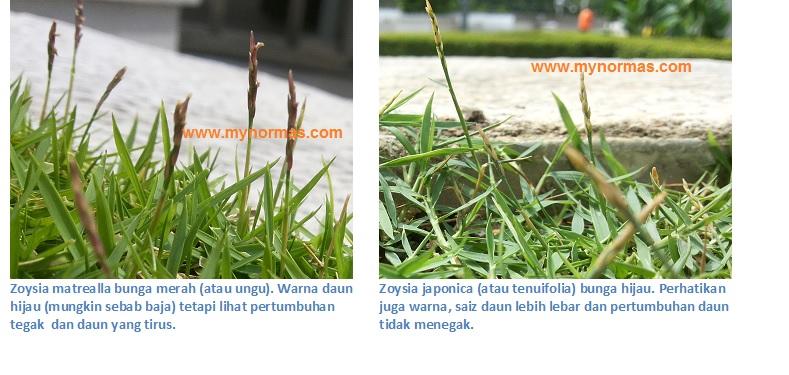 Compare Zoysia bunga in PJ