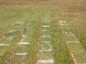Rumput sod tak sama langsung dengan rumput keliling.