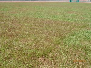 Sod Cowgrass merah dikeliling Cowgrass hijau